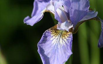 Lila Blume Hintergrundbild