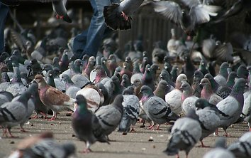 Pickende Tauben Hintergrund