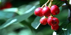 Beeren Wallpaper Bild