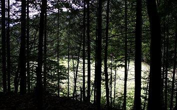 Nadelwald Hintergrund