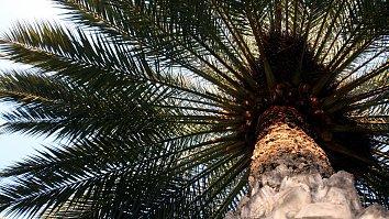 Palme Hintergrundbild