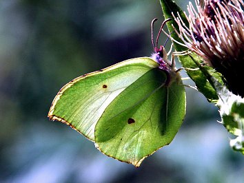 Schmetterling Gruen Hintergrund Pic
