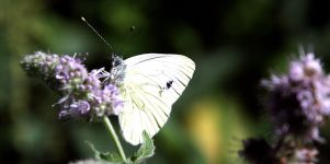 Schmetterling Wallpaper Bild