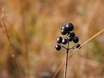 Schwarze Beeren Hintergrund