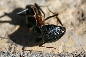 Ameisen Desktopmotiv