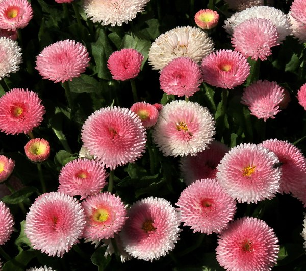 Bellis Galaxy S4 Wallpaper