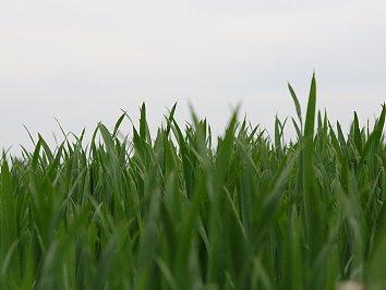 Hohes Gras Desktop Hintergrund