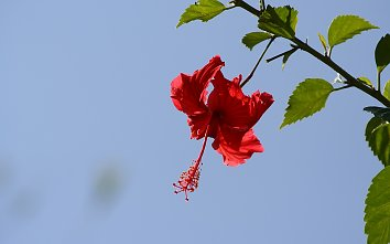 Hibiskus Wallpaper