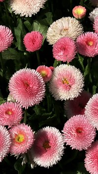 Bellis Iphone 5 Wallpaper