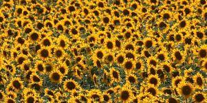 Sonnenblumen Iphone 5 Wallpaper