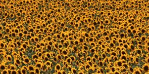 Sonnenblumenfeld Iphone 5 Wallpaper