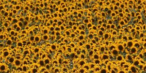 Sonnenblumenmeer Iphone 5 Wallpaper