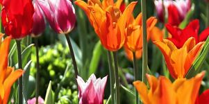Tulpenwiese Iphone 5 Wallpaper