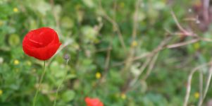 Mohn Blumen Wallpaper