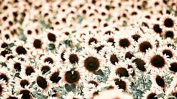 Sonnenblume Blueten Leuchtend Wallpaper
