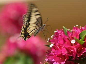Schmetterlinge Background Pic